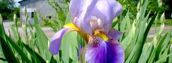 Les premiers Iris fleurissent, pour notre communauté !