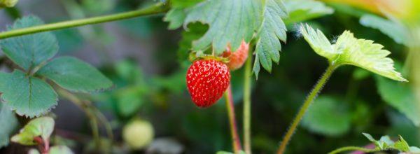 Les premières fraises du jardin !