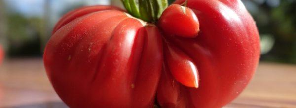 Une tomate très étrange…