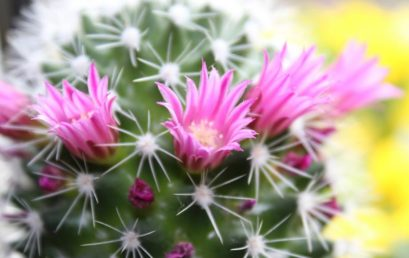 Cactus en fleur !