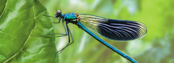 La libellule, un insecte utile au jardin