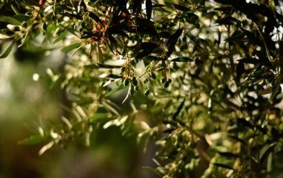 L'olivier en periode hivernale